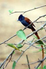 Zu schnell - Schwanz zu lang - Schnellschuss: Paradiesschnäpper (Therpsiphone viridis)