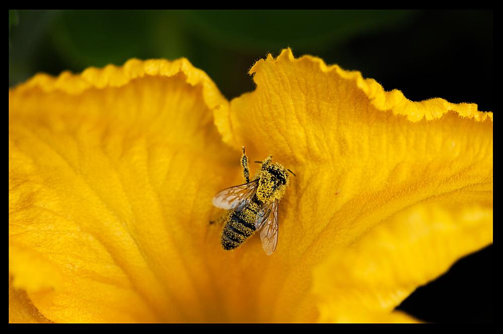 Zucchini-Biene