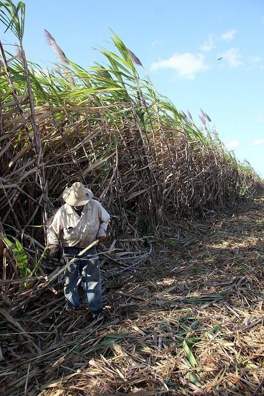 Zuckerrohr mit Schnitter