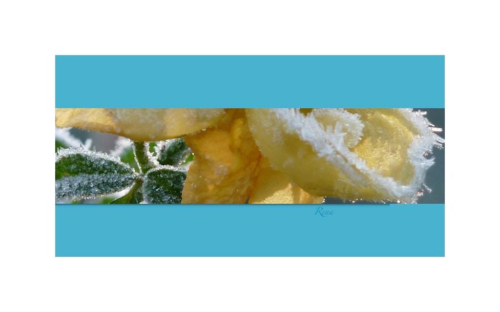 Zuckerrose Gelb