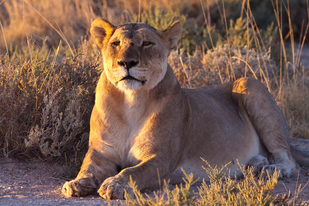Zufriedene Löwin