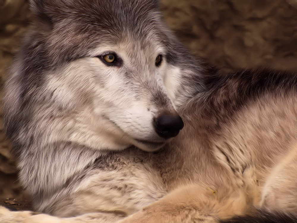 Zufriedene Wölfin
