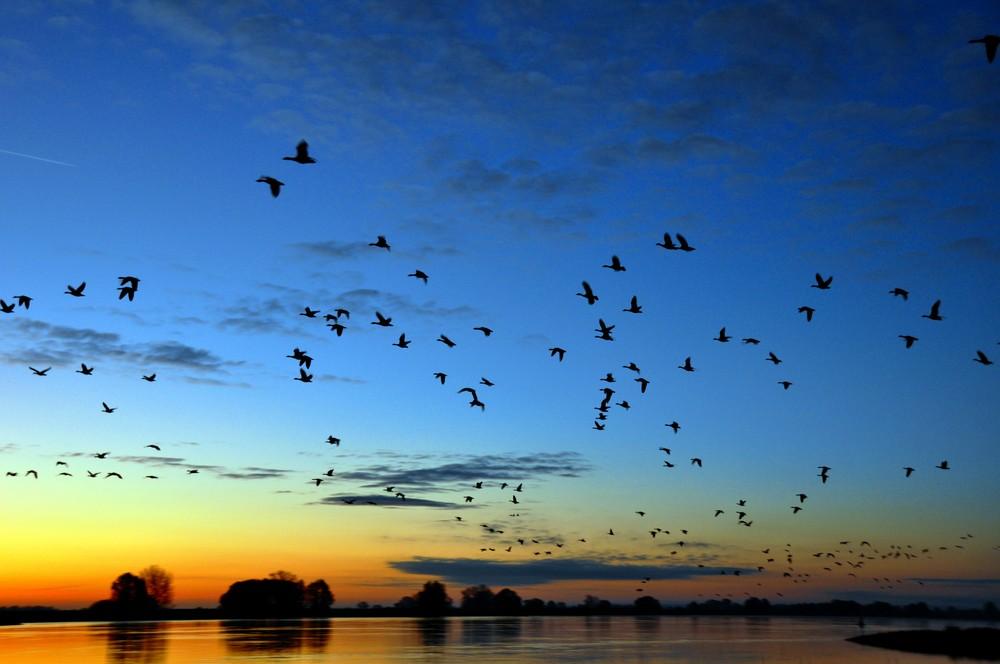 Zugvögel an der Elbe bei Sonnenaufgang
