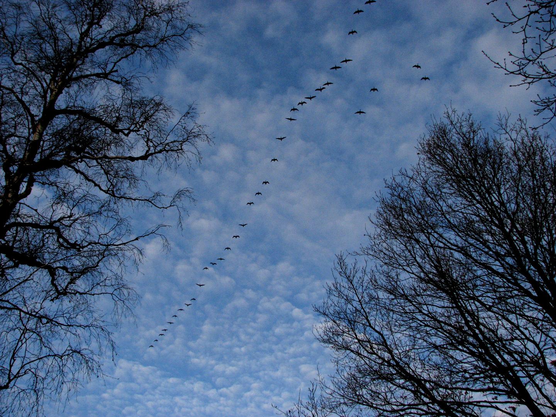 Zugvögel – ich kann am Flugbild nicht erkennen ...