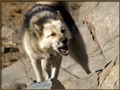 Zum Abschied jault der Schlittenhund noch sein Lied