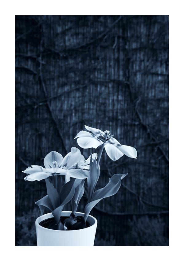 zum dienstag eine farblose tulpe...