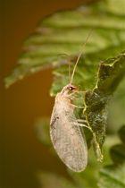 Zum ersten Mal habe ich eine nicht grüne Florfliege gesehen: Hemerobius lutescens