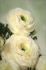 Zum Frühlingsanfang ~  Rosen des Frühlings....
