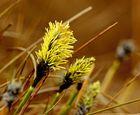 Zum Inbegriff der Moorflora