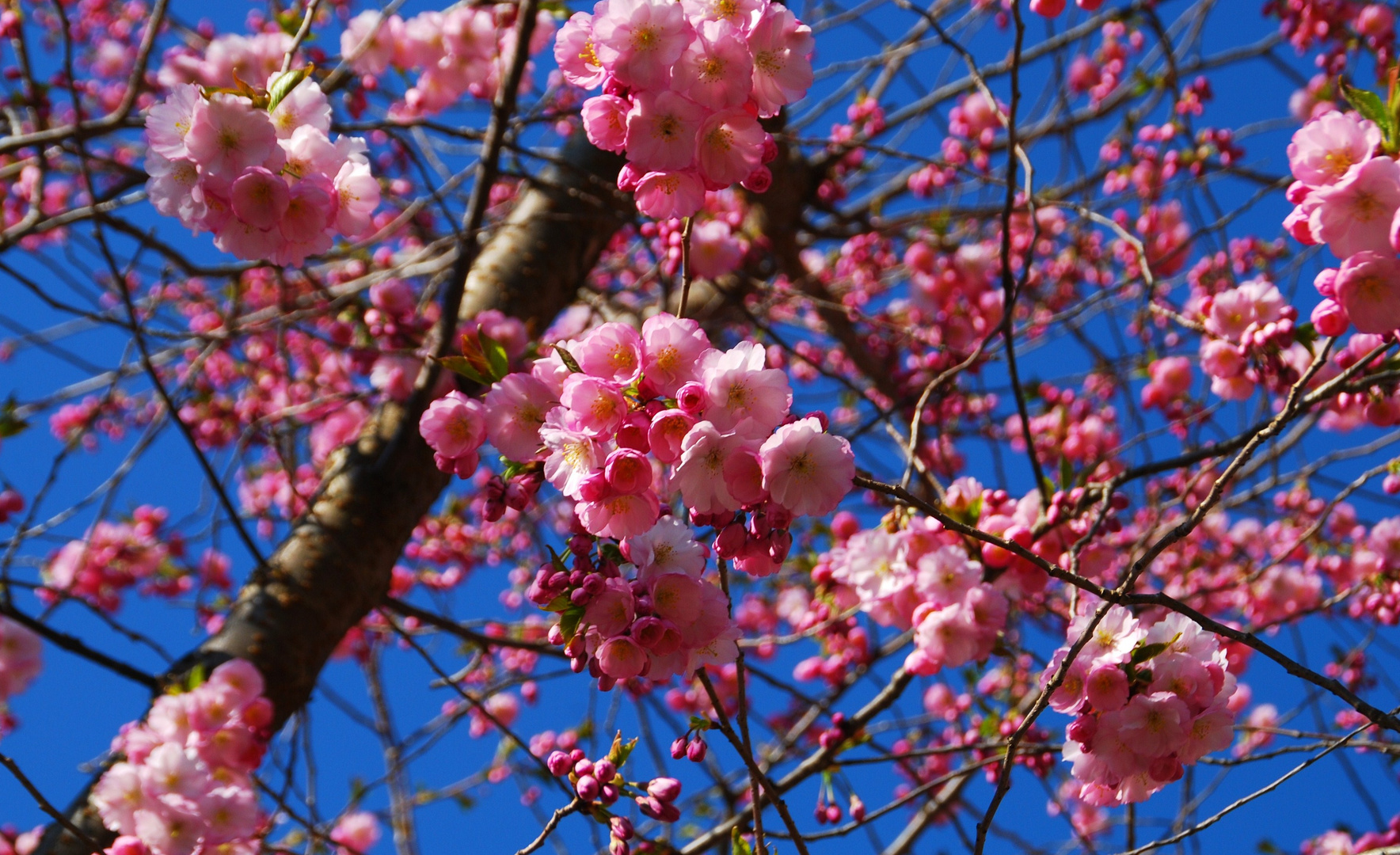 zum Kirschblütenfest