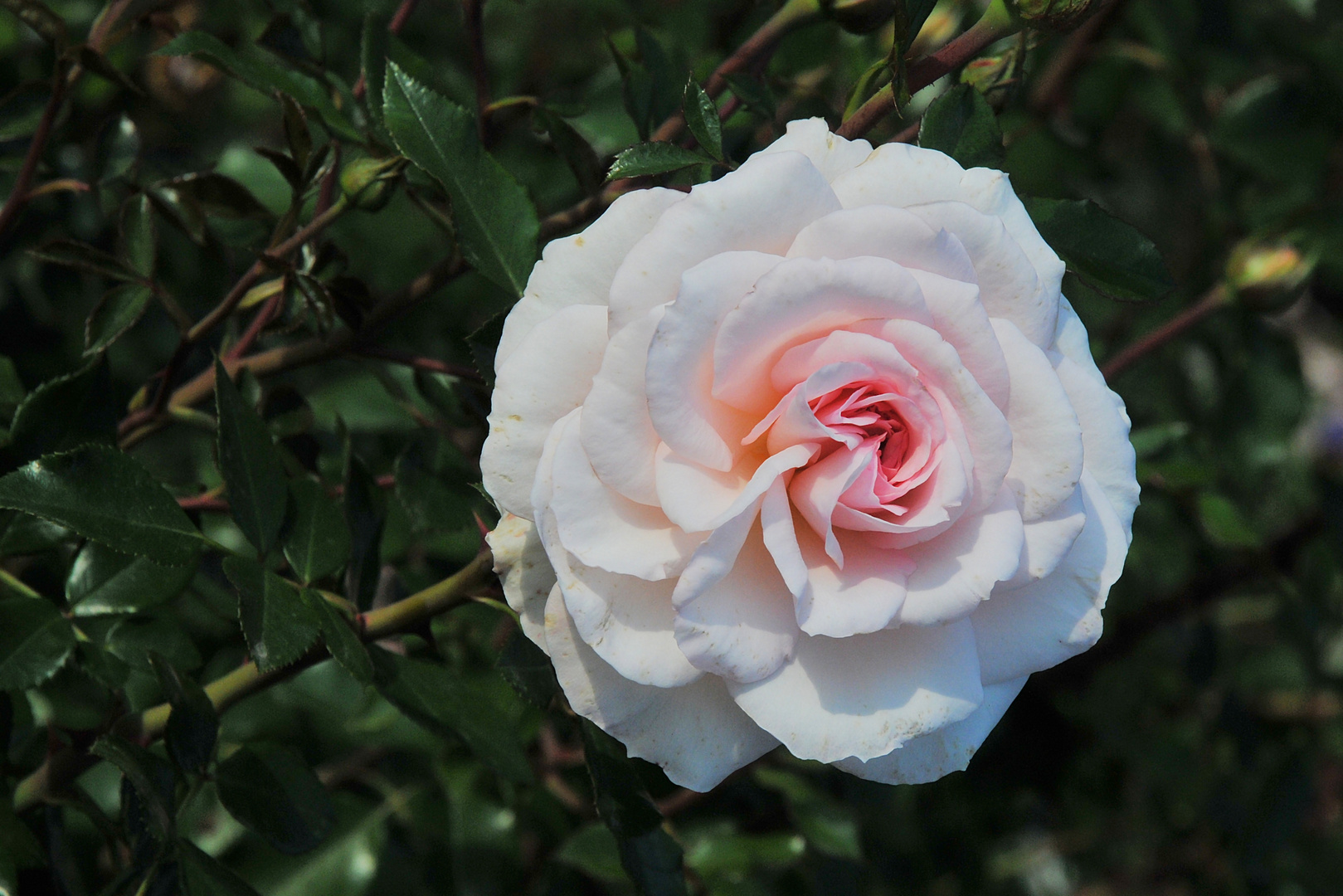 Zum Mittwoch eine Rose