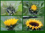 Zum Sommerende Sonnenblumen