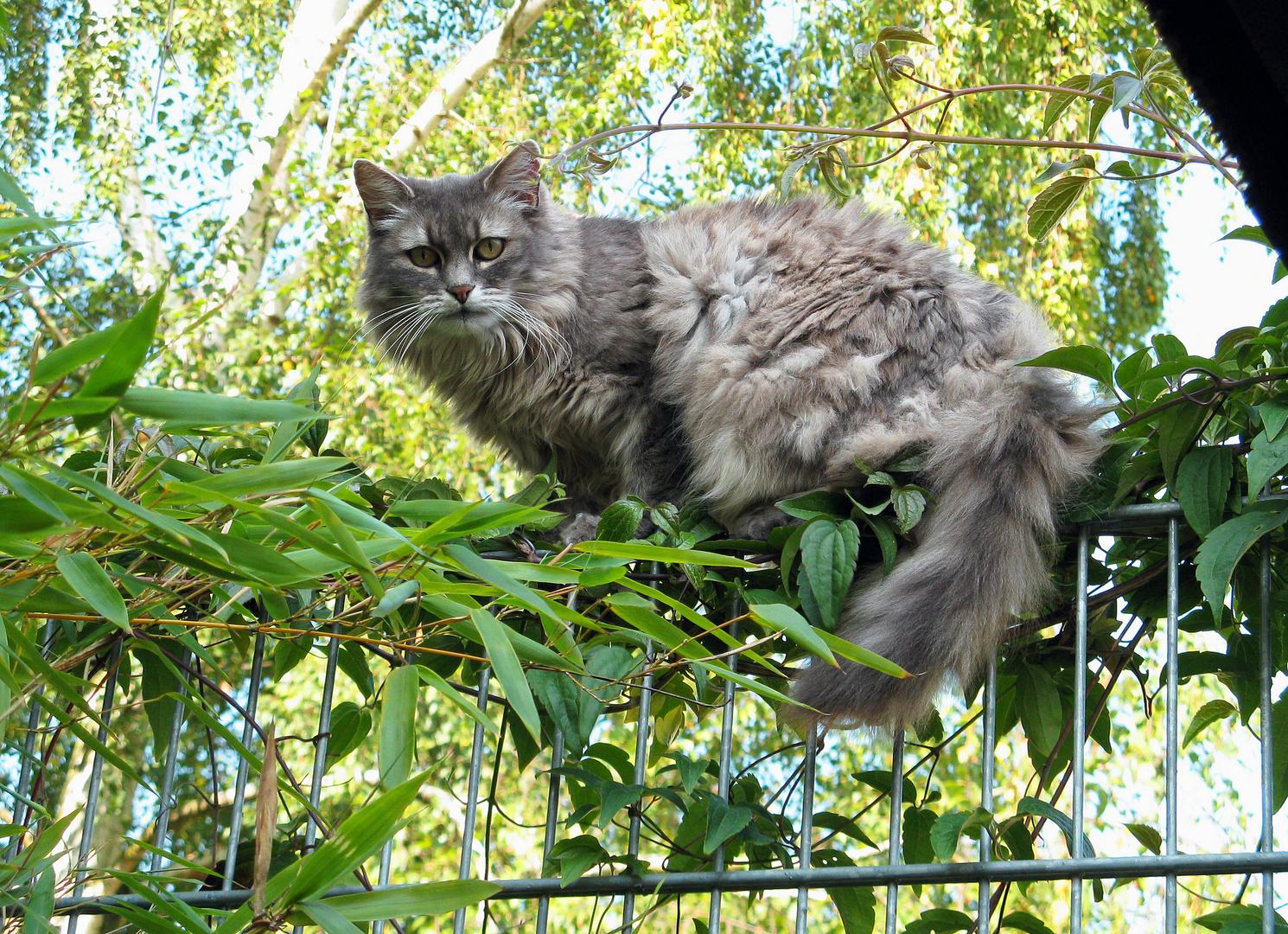 Zum Weltkatzentag Mieze (RIP 18.Juli2013)
