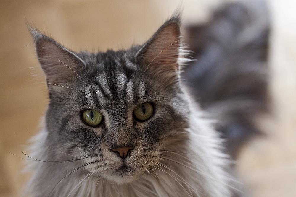 Zum Weltkatzentag - Silver Kuschelkater