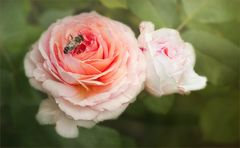 Zum Wochenbeginn ein Rosengruß...