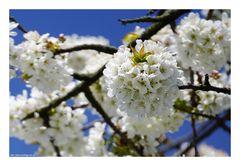 Zum Wochenende Kirschblüte