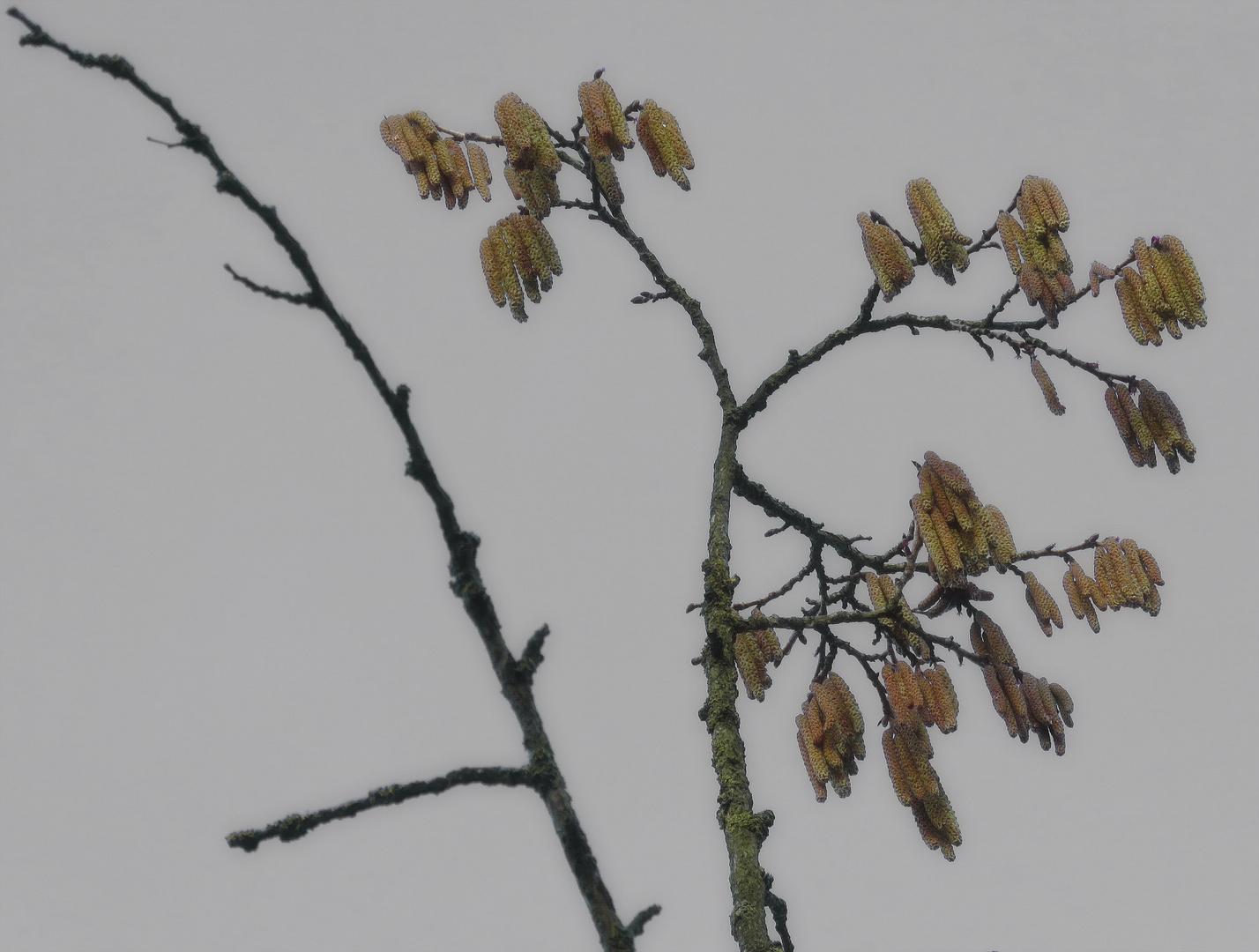 """zum Wochenstart..: morgengrau """"HASELKÄTZCHEN"""" vom Baum gezoomt,"""