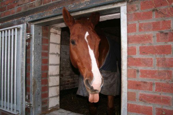 Zungenschnalzer von dem Horst sein Pferd