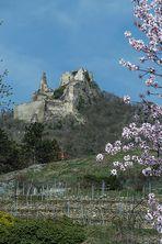 Zur Baumblüte in der Wachau