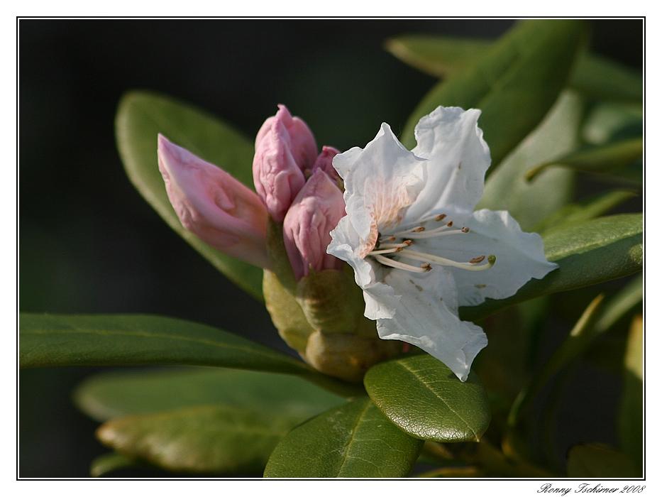 Zur Blüte gereift