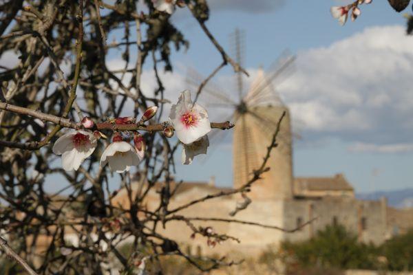 Zur Mandelblüte auf Mallorca