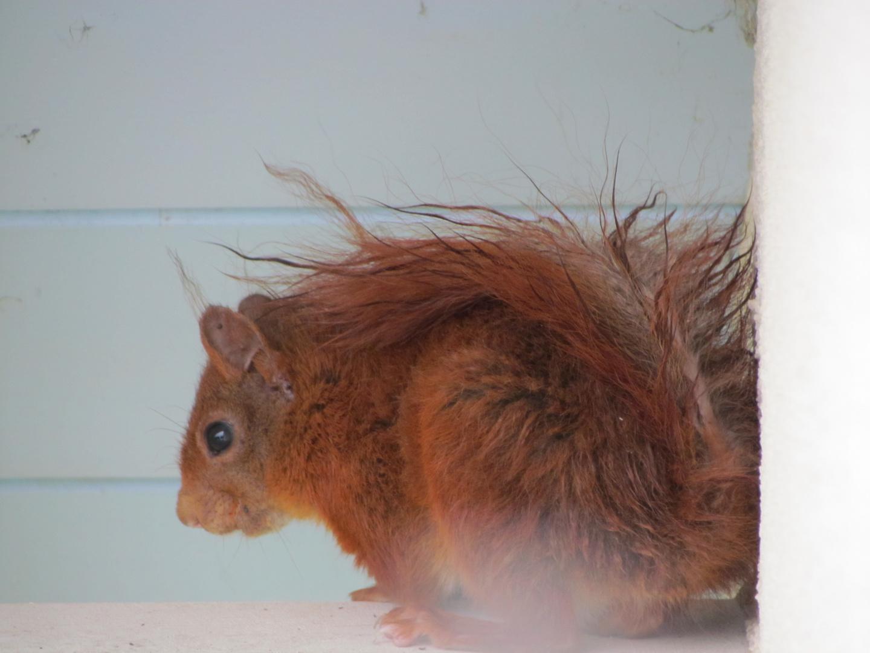 Zusammengekauertes Eichhörnchen unterm Dach