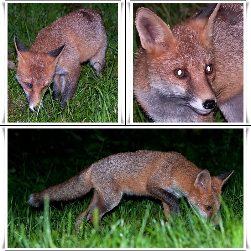 Zutraulicher Fuchs