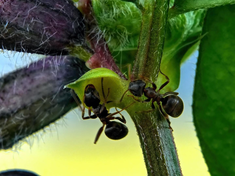 zwei Ameisen suchen Nektar