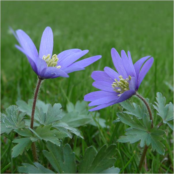 . zwei anemonen .