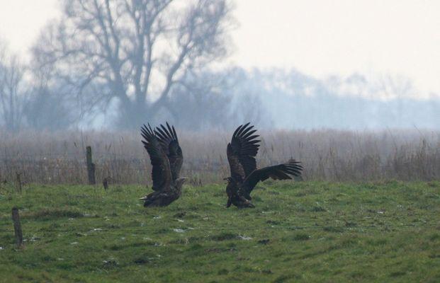 Zwei aufgeklappte Adler...