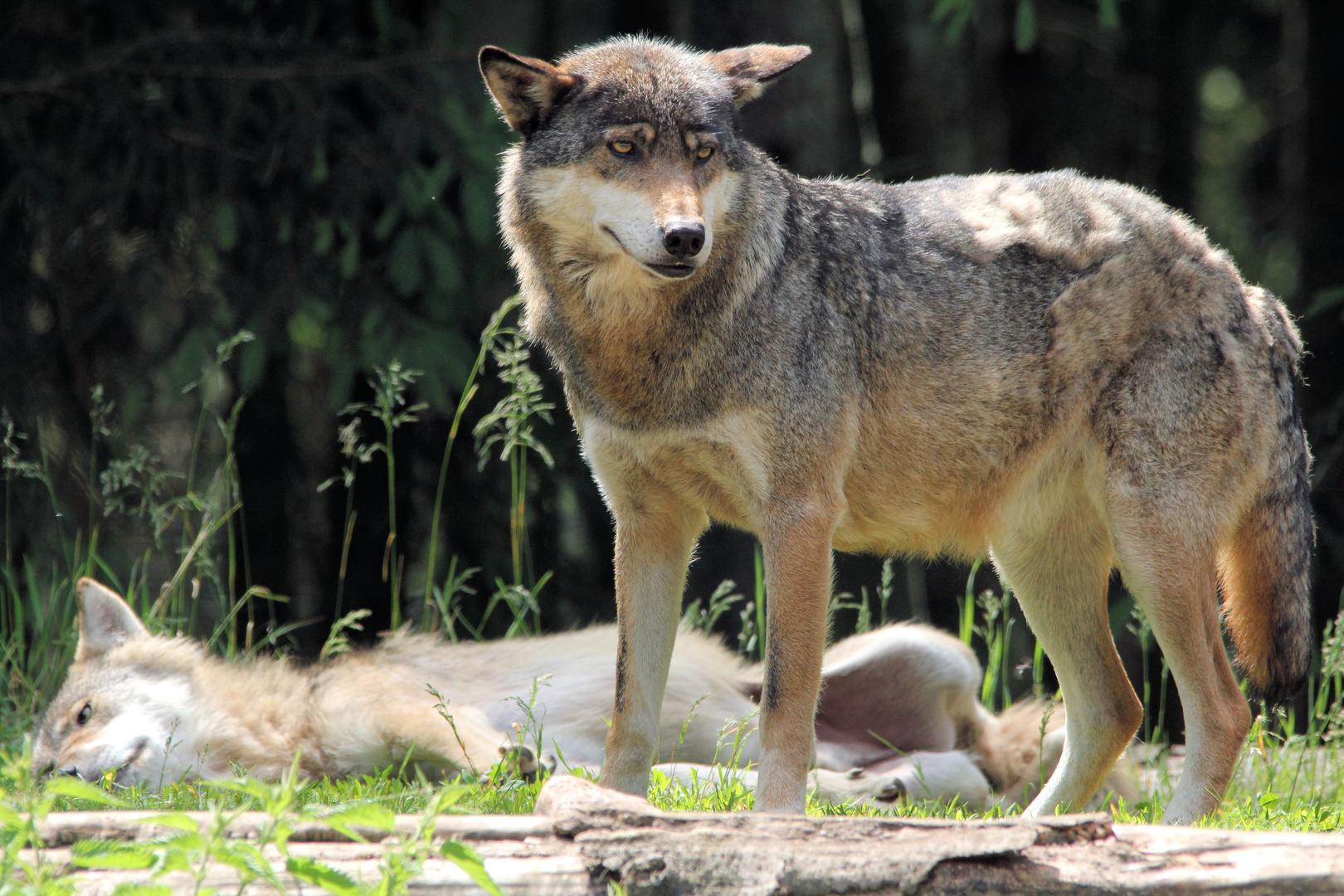 zwei der Wölfe
