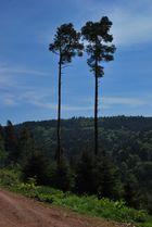 Zwei einsame Bäume im Wald!