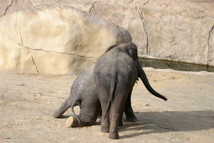 zwei Elefanten beim Rugby