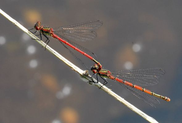 Zwei emsige Libellen unterwegs...