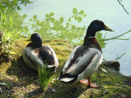 Zwei Enten am Teich