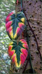 Zwei Farbenprächtige vor einem Florettseidenbaum