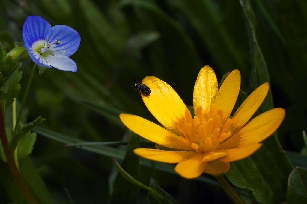 Zwei Frühlingsblüher mit einem Besucher