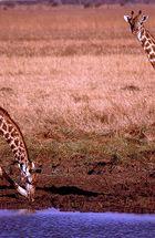 Zwei Giraffen - Mikumi National Park