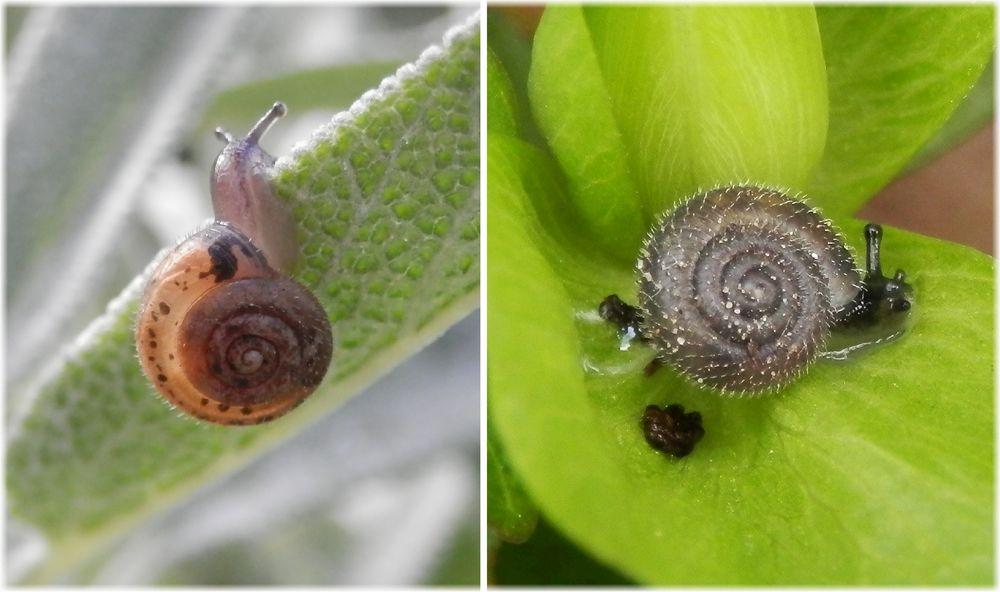 Zwei haarige kleine schnecken in unserem garten flechten for Kleine fliegen zimmerpflanzen