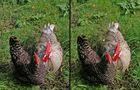 Zwei Hennen?