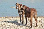 Zwei Hunde, ein Stock!