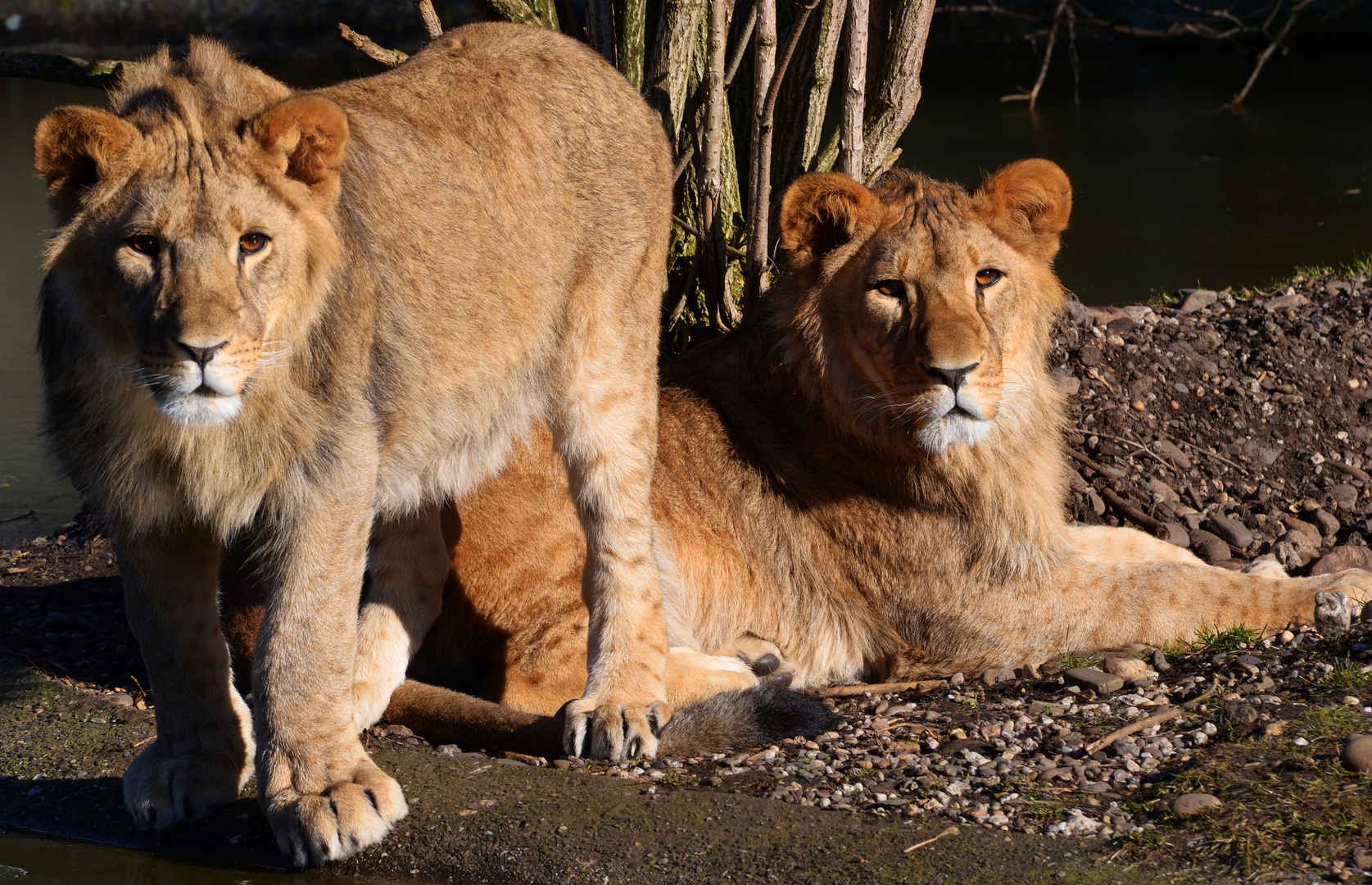 zwei junge Löwen des Löwenpaares im Dortmunder Zoo (haben heut' Drolliges erlebt ...)