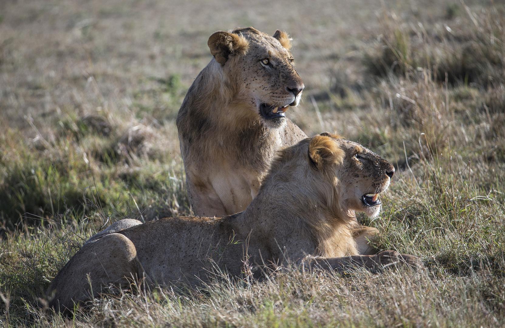 Zwei Junge Löwenmännchen.....