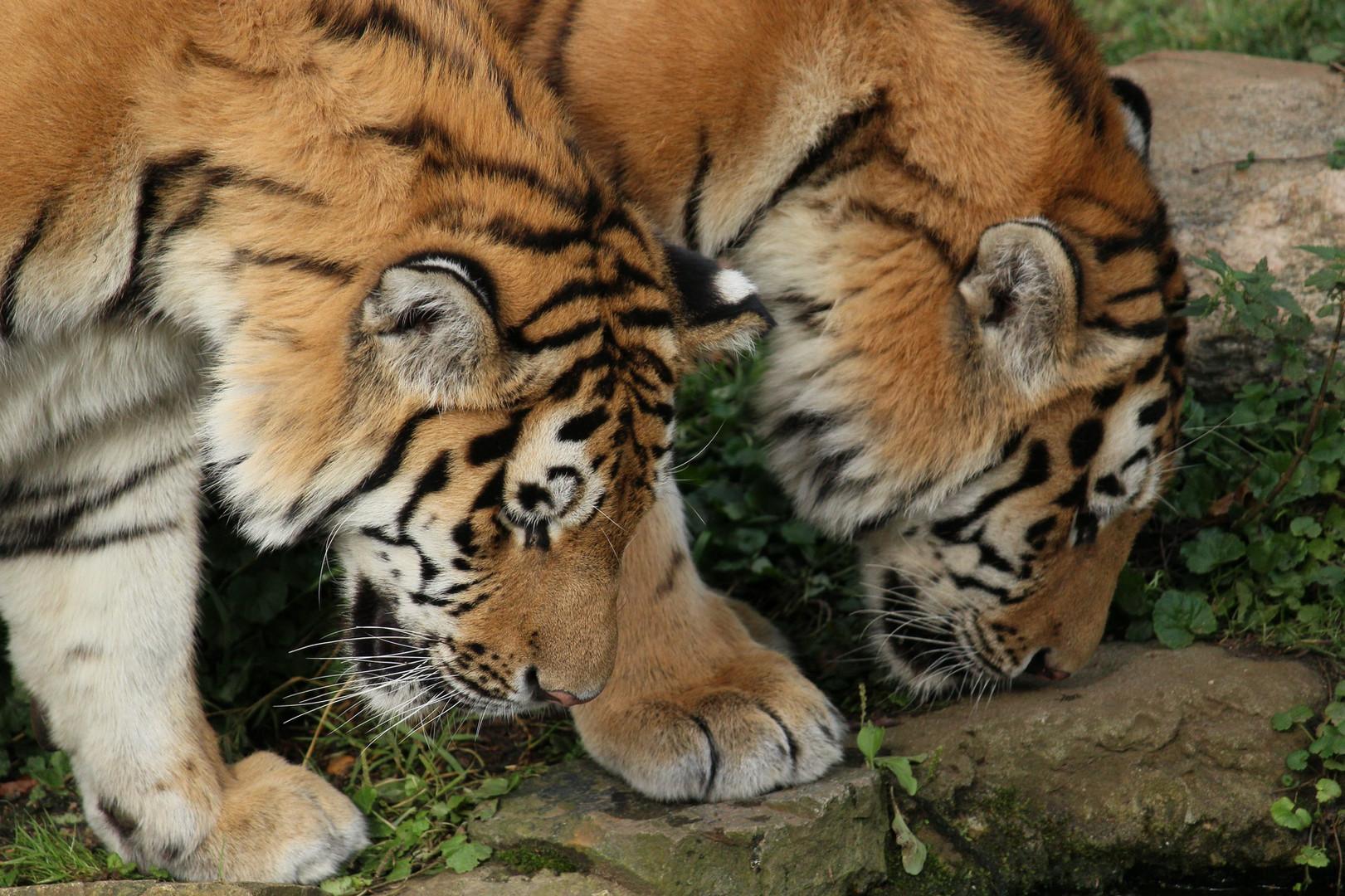 Zwei junge Sibirische Tiger