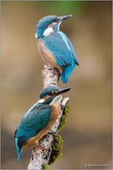 Zwei Jungvögel