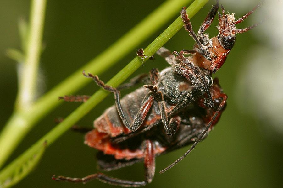 Zwei Käfer ....
