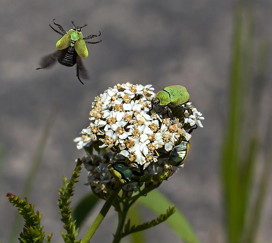 Zwei Käfer und einer davon auf der Flucht!
