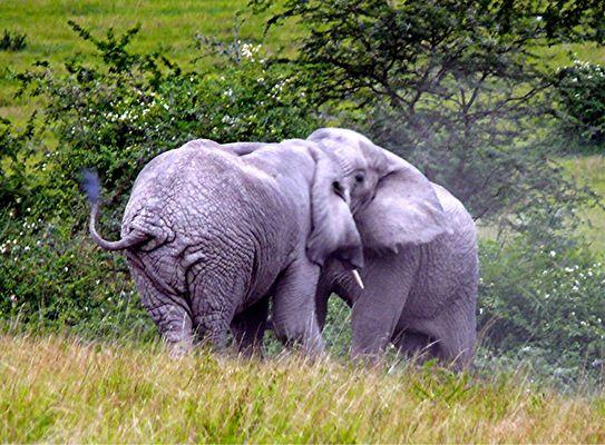 Zwei kämpfende Elefanten im Queen Elisabeth NP