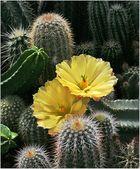 Zwei Kaktusblüten ...