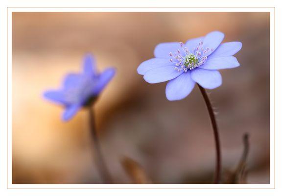 Zwei Leberblümchen